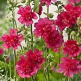 겹접시꽃스프링-카민로즈 모종3포트 노지월동 다년초 야생화 [케이야생화]|