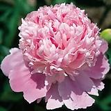겹꽃개량작약 몬스쥬에일리 뿌리묘|