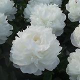 겹꽃개량작약 가데니아 뿌리묘 특묘|