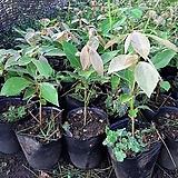 참식나무(4치포트)5주|