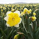 수선화-프린탈 구근4개 절화 가을식재 노지월동 봄개화 구근식물 [케이야생화]|