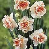 수선화-리플리트 구근3개 절화 가을식재 노지월동 봄개화 구근식물 [케이야생화]|