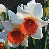 수선화-크로마컬러 구근3개 절화 가을식재 노지월동 봄개화 구근식물 [케이야생화]|