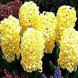 히아신스-집시프린세스 구근3개 가을식재 노지월동 봄개화 향기나는꽃 [케이야생화]|