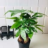 파키라 3촉 식재 공기정화 식물 플랜테리어|