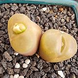 레드마우가니 쌍두|Conophytum maughanii
