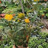 장미 (색상랜덤발송)인기식물|