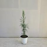 블루아이스/편백나무/공기정화식물/반려식물/온누리 꽃농원|Echeveria blue ice
