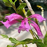 덴드로비움 라웨시(핑크) Den. lawesii (pink)|
