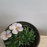사랑초 화이트 핑크