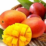 자가수정 애플망고트리 퀸레드(귀비) 화분상품,왜성 망고나무 외목수형,화분재배 최적화|