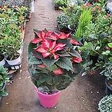 포인세치아 (중) 공기정화꽃식물|