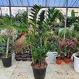 금전수 (공기정화 키우기쉬운식물)특|variegated