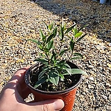 개나리자스민 (신상품)꽃식물소|