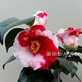 암근교동백(꽃대외목수형/57)-동일품배송|
