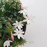 [도희씨네 정원] 은은한 다우니향 차이니즈 자스민 120|