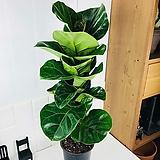 떡갈나무 외목대 중대형 70cm|