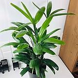 관음죽 중형 화장실에서 키우기 좋은 식물|