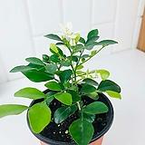 오렌지 쟈스민 은은한 향기 향기좋은 꽃 키우기 쉬운 식물 소형|