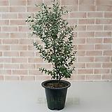 [도희씨네 정원] 네츄럴한 초록 분위기 유칼립투스 중형 230