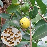 레몬구아바씨앗(100립)|