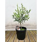 올리브나무 외목대 관엽식물 거실 인테리어식물 묘목