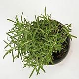 로즈마리 (Ros Marinus)  - 공기정화 / 식용식물 /r관상용 /  인테리어 - 꽃보러가자|