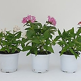 펜타스    - 공기정화 / 꽃식물 / 인테리어 (핑크) - 꽃보러가자|