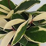 호야  - HOYA  아이보리와초록색의 아름다운 잎색의 다육 / 인테리어 / 공기정화 - 꽃보러가자|