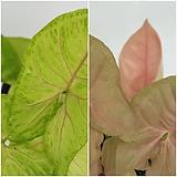 싱고니움 네온+ 핑크 (1+1)   - 공기정화 / 반려식물 / 인테리어식물 - 꽃보러가자|