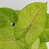 싱고니움 네온,형광   - 공기정화 / 반려식물 / 인테리어식물 - 꽃보러가자|