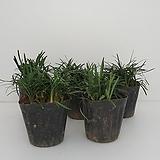 풍성한 애란 포트 5 개(농장에서 바로배송)  - 관상용 / 조경용 / 정원식수용 / 반려식물 - 꽃보러가자|