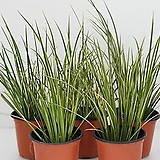 무늬석창포 포트 20개 (농장에서 바로배송)  - 관상용 / 조경용 / 정원식수용 / 반려식물 - 꽃보러가자|