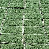 풍성한 애란 포트 24 개 (농장에서 바로배송) - 관상용 / 조경용 / 정원식수용 / 반려식물 - 꽃보러가자|