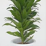드라세나 콤펙타  외목대 (55-65cm) (농장에서 바로배송)  - 공기정화 / 관상용 / 반려식물 - 꽃보러가자|