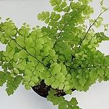 풍성한 아디안텀(농장에서 바로 배송)   - 공기정화식물 / 미세먼지/반려식물/관상용 - 꽃보러가자|