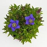 용담 - 공기정화 / 미세먼지 / 반려식물 - 꽃보러가자|