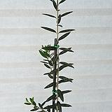 80-110cm 올리브나무(아르베키나) 평화의 상징  외목대등(화분포함) (농장에서 바로배송)/ 고급식물 / 반려식물 - 꽃보러가자|