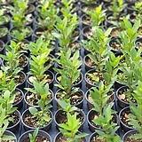 월계수나무 외목대  5치 포트 (농장에서 바로배송) / 식용식물 / 공기정화/ 고급식물 / 반려식물 - 꽃보러가자|