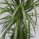 드라세나 마지나타 2단 중대품80-100CM(농장에서 바로직송)   - 공기정화 / 관상용 / 반려식물 - 꽃보러가자|