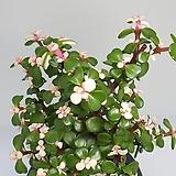 아악무 (은행목)  외목대 중품 - 다육 /반려식물 /  인테리어 / 공기정화 - 꽃보러가자|