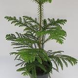 아레우카리아(알로우카리아)  중품60-70cm (분포함) - 공기정화 / 식용식물 / 인테리어 - 꽃보러가자|