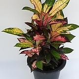 아이스톤 중대품  80-90cm  - 공기정화 / 관상용 / 반려식물 - 꽃보러가자|