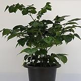 녹보수(해피트리)  중품  - 공기정화 / 관상용 / 반려식물 - 꽃보러가자|Sedum dendroideum