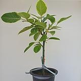 뱅갈고무나무  중대품  - 공기정화 / 관상용 / 반려식물 - 꽃보러가자|