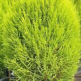 율마 대품  90-100cm (화분포함)- 공기정화 / 식용식물 / 인테리어 - 꽃보러가자|