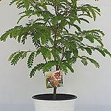 타마린드 중품 65- 75cm (농장에서 바로배송) - 공기정화 / 식용/ 관상용  / 반려식물 - 꽃보러가자|