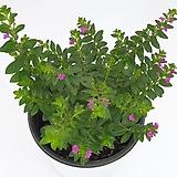 구피아(쿠페아) 중품 -  사계절 꽃을 볼수 있는 식물 /공기정화 / 인테리어 / 반려식물 - 꽃보러가자|