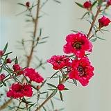 [도희씨네 정원] 핑크색 겹꽃 호주매화 110|