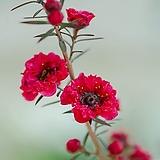 [도희씨네 정원] 핑크색 겹꽃 호주매화 화분형 270|